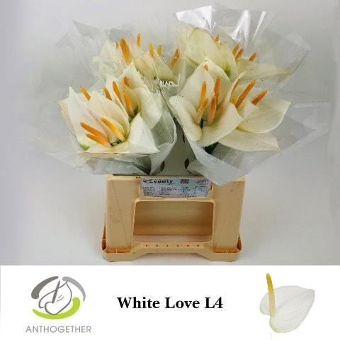 <h4>ANTH A WHITE LOVE 40 L4.</h4>