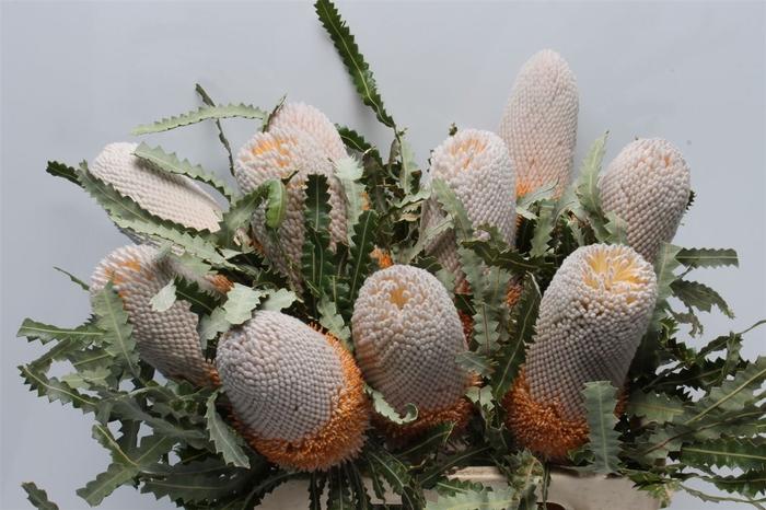 <h4>Banksia Prionotis</h4>