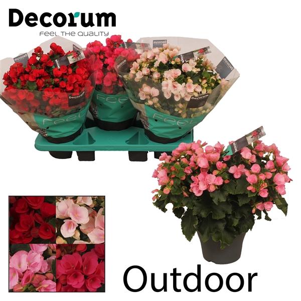 <h4>Betulia gemengd outdoor Decorum</h4>