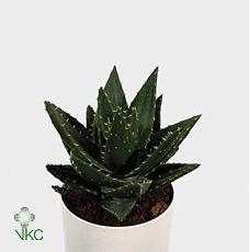 Aloe Perfoliata 12Ø 18cm