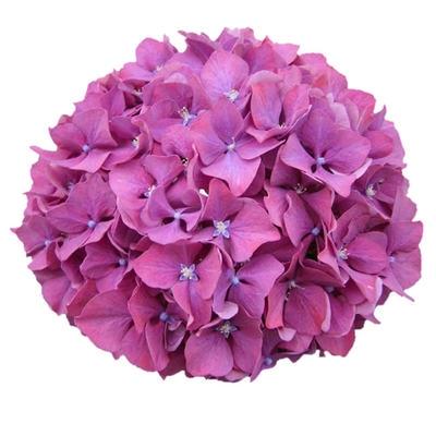 <h4>Hortensia Hyd. .Dark pink</h4>