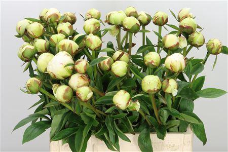 <h4>Paeonia Bowl Of Cream</h4>