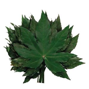 Aralia Hojas Green