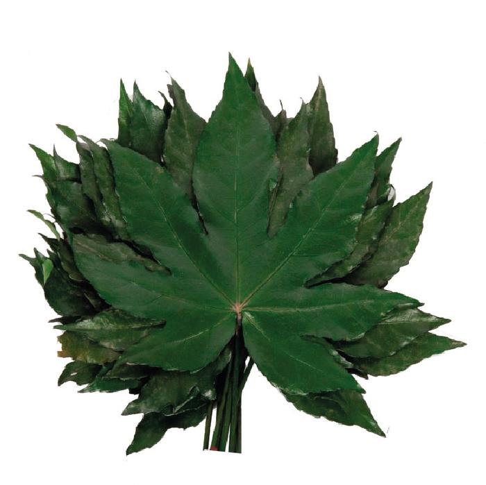 <h4>Aralia Hojas Green</h4>