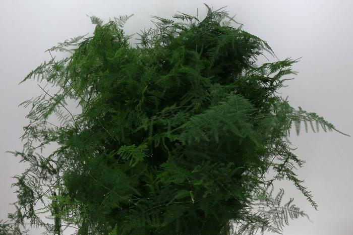 <h4>Asparagus Setac Lang Getopt</h4>