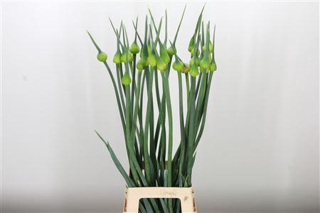Allium Kenton