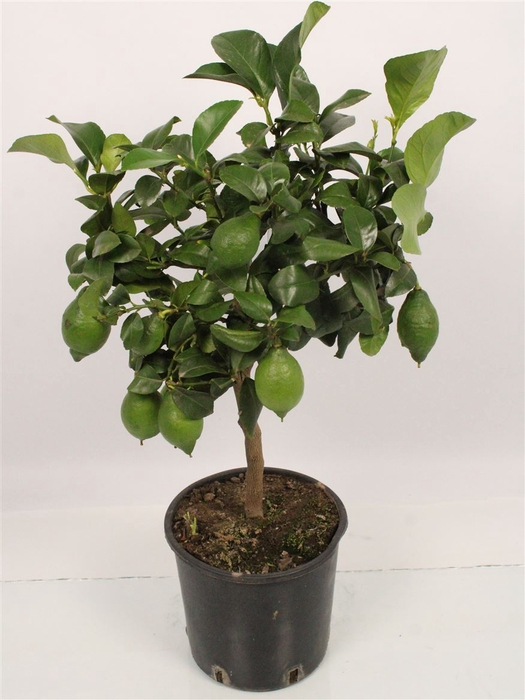 <h4>Citrus Lemon Stem (it-19-1560)</h4>