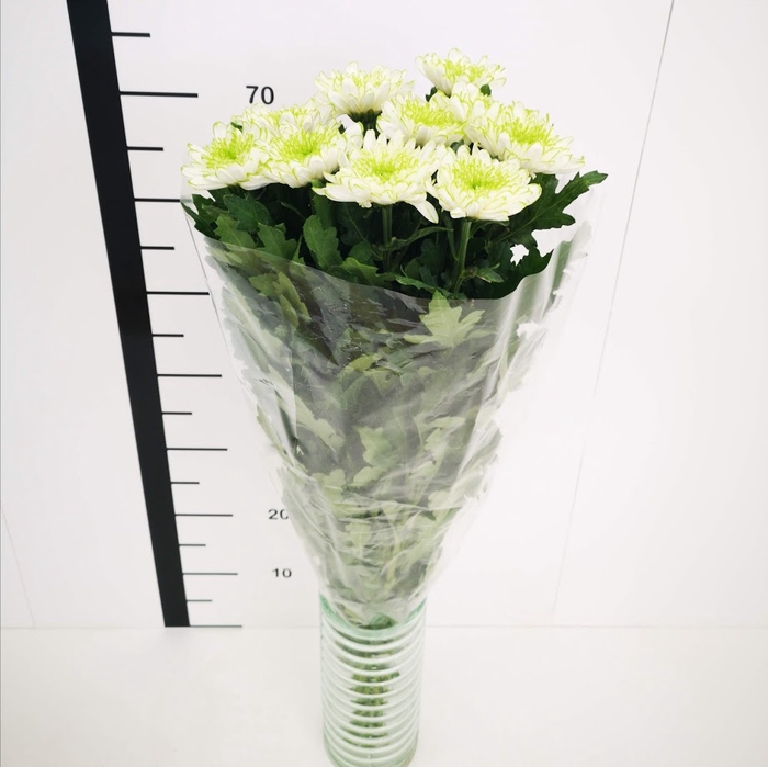 <h4>Chrysanthemum monoflor zembla blanco y verde</h4>