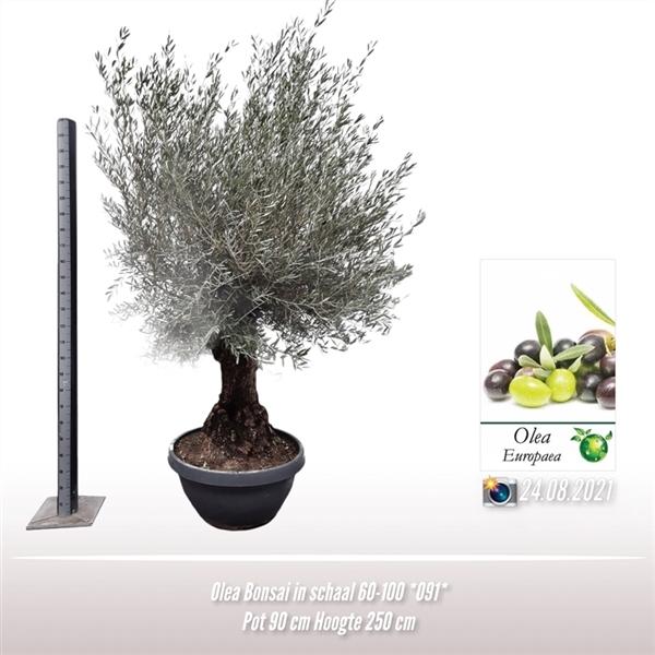 <h4>Olea bonsai in schaal 60-100 ?*091?*</h4>