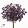 Allium Miami Purple