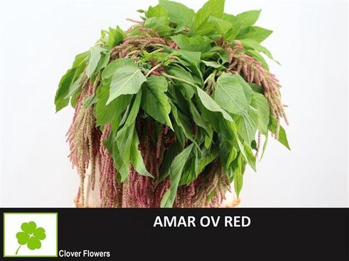 <h4>Amar Red</h4>