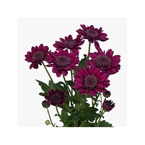 Chrys. spray stresa purpura (R. OPORTO)
