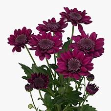 <h4>Chrys. spray stresa purpura (R. OPORTO)</h4>
