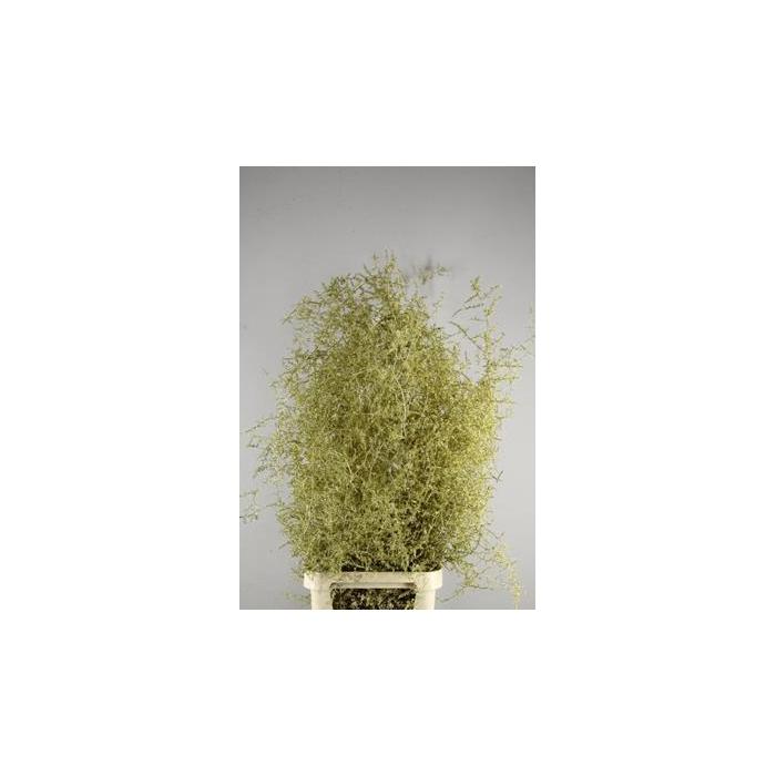 <h4>Asparagus Selvatico Goud +glit</h4>