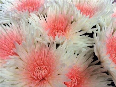 <h4>Chr G Ana White + Pink</h4>