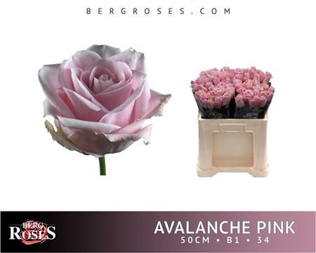 <h4>R Gr Avalanche Pink+ B1</h4>