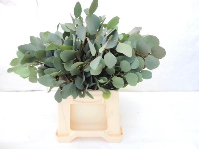 <h4>Eucalyptus Populus Kort</h4>