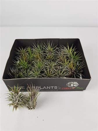 <h4>Till Air Plants Glitter</h4>