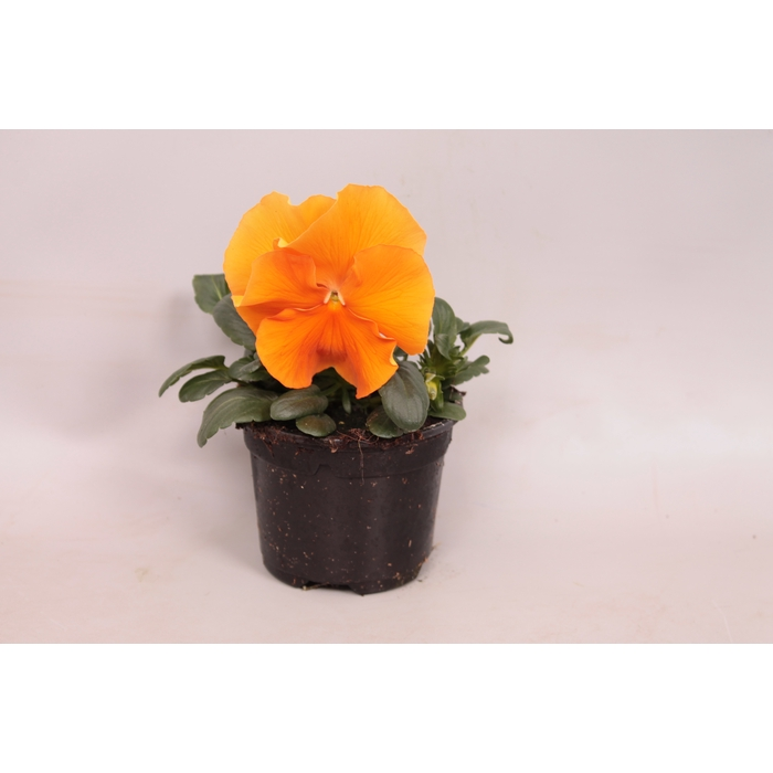 <h4>Viola wittrockiana F1 Orange Deep.</h4>