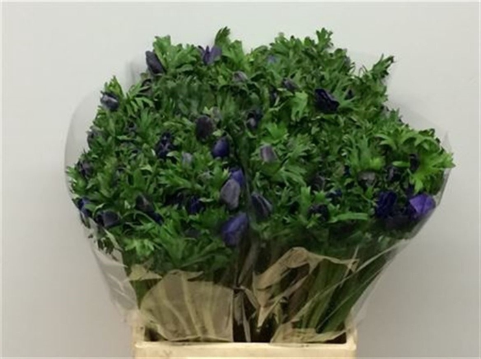 <h4>Anemone cor. 'Marianne Blue'</h4>