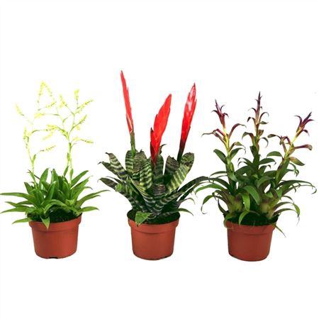 <h4>Brom Gemengd Botanic 3pp</h4>