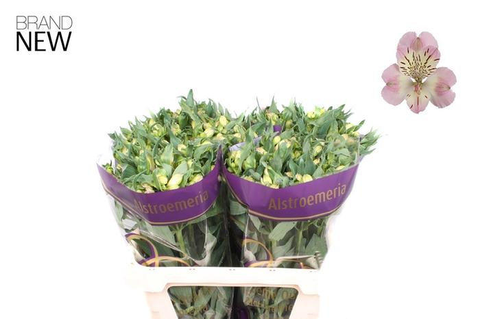 <h4>Alstroemeria Wonder Sweet</h4>