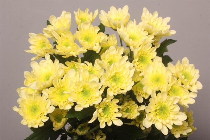 <h4>Chrysant T Radost Cream</h4>