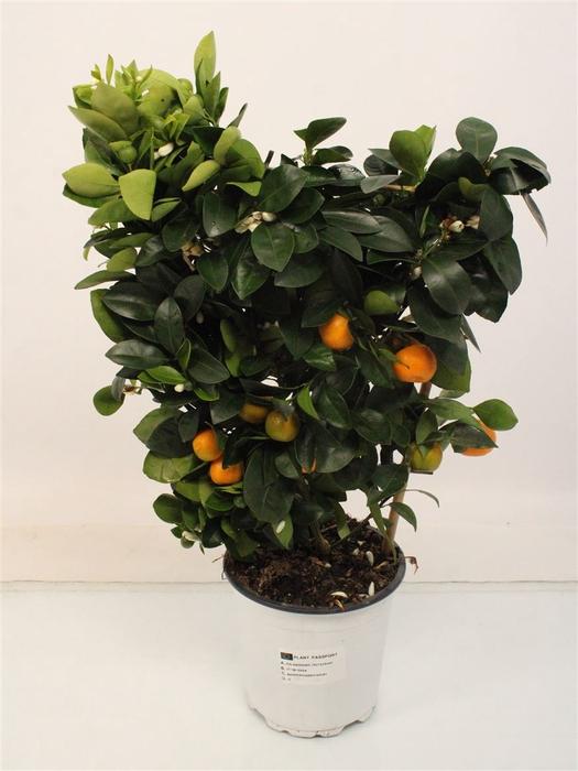 <h4>Citrus Calamondin Trellis</h4>