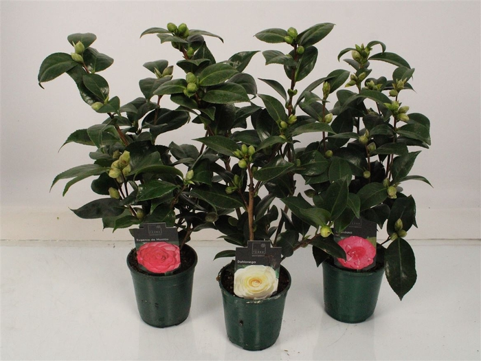 <h4>Camellia Japonica Mix</h4>