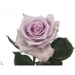 Rosa Gr. Ocean Song