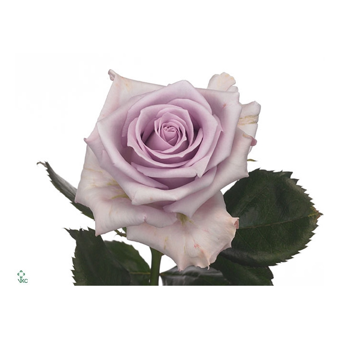 <h4>Rosa Gr. Ocean Song</h4>