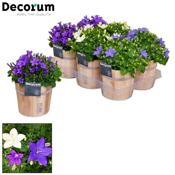 <h4>Campanula Mix Decorum Wood</h4>