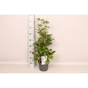 vaste planten 19 cm  Anemone Whirlwind