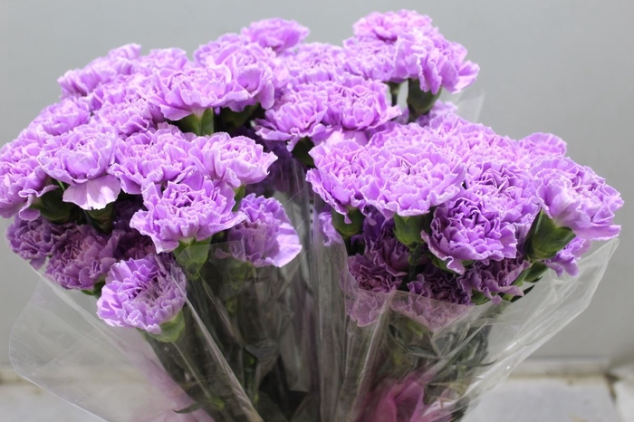 <h4>Dianthus Florigene Moonaqua</h4>
