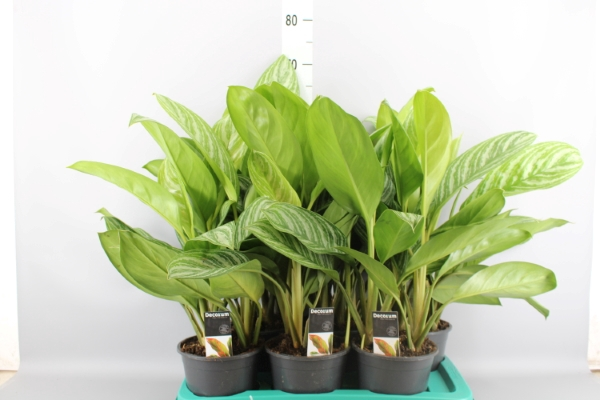 <h4>Aglaonema  'Stripes'</h4>