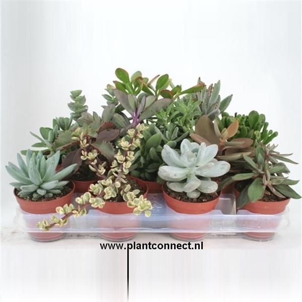 <h4>art.141 Succulenten mix 8,5 cm</h4>