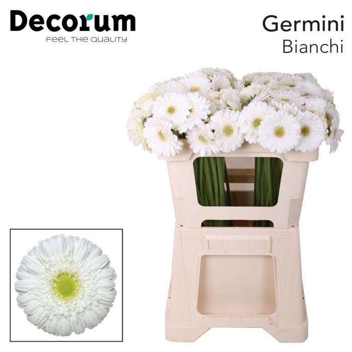 <h4>Germini Bianchi</h4>