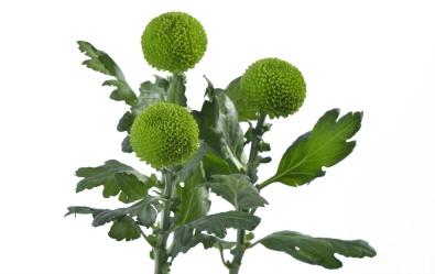Chrysanthemum monoflor feeling green