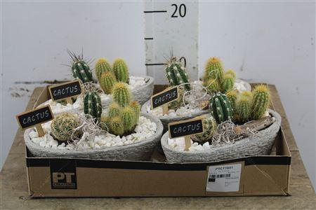 <h4>Arr Cactus In Ceramic</h4>