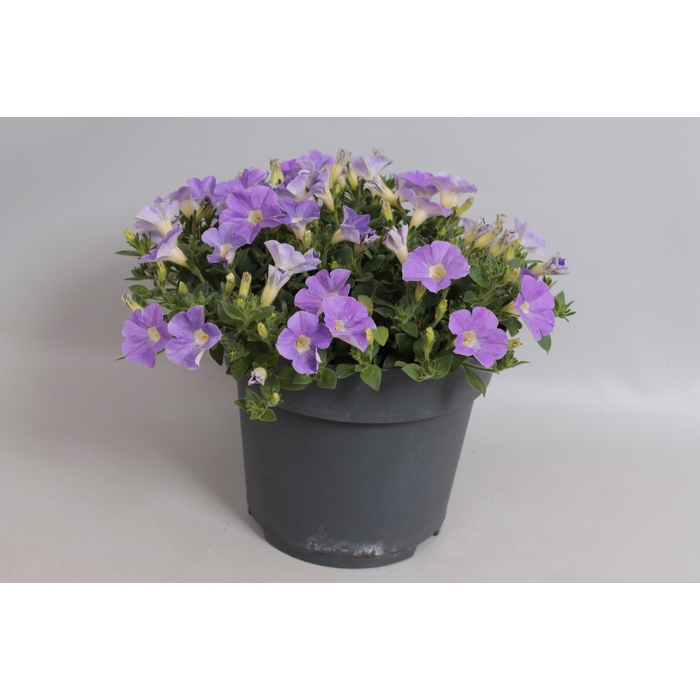 <h4>Perkplanten 19 cm Petunia Dekko light blue</h4>