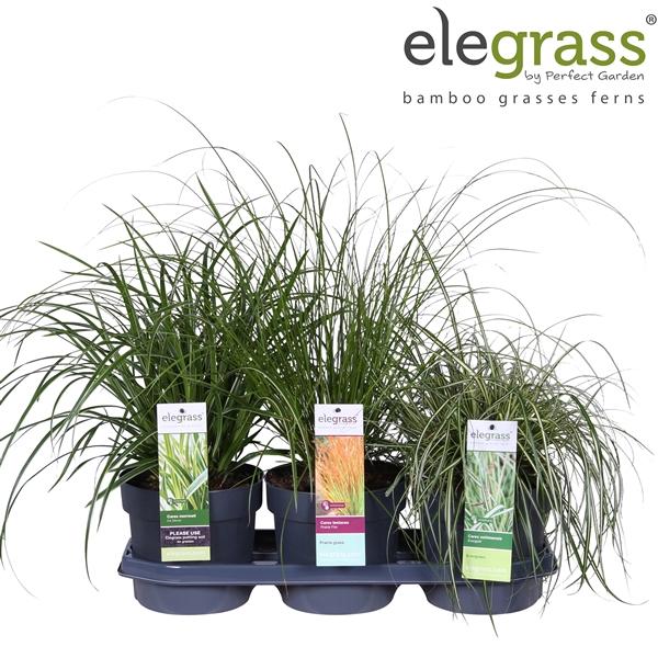 <h4>Carex mix tray - Elegrass</h4>