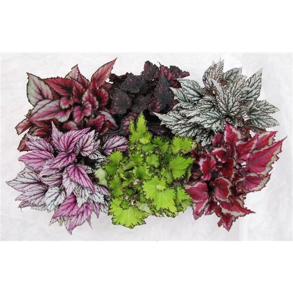 <h4>Begonia Magic Colours gemengd</h4>