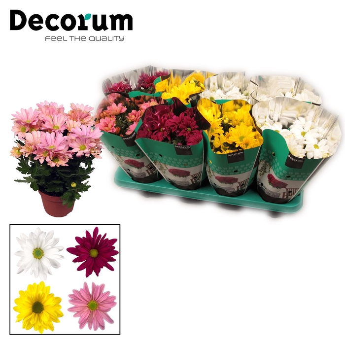<h4>Chrysanthemum Breeze mix</h4>