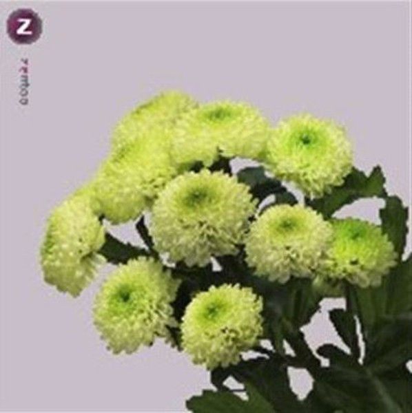 <h4>Chrys. santini Country Lime</h4>