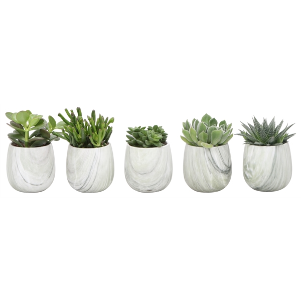<h4>Little lizard greens succulenten in marble pot green</h4>