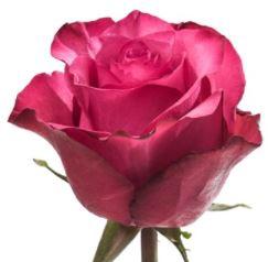 <h4>R Gr Lola Hot Pink 60cm EC</h4>