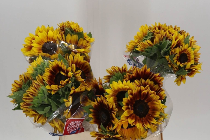 <h4>Helianthus Flame</h4>