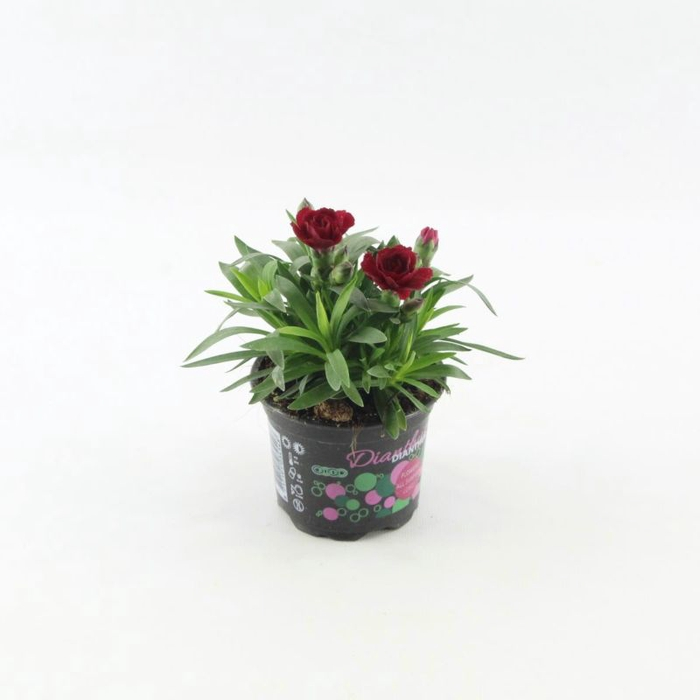 <h4>Dianthus Oscar Dark Red</h4>
