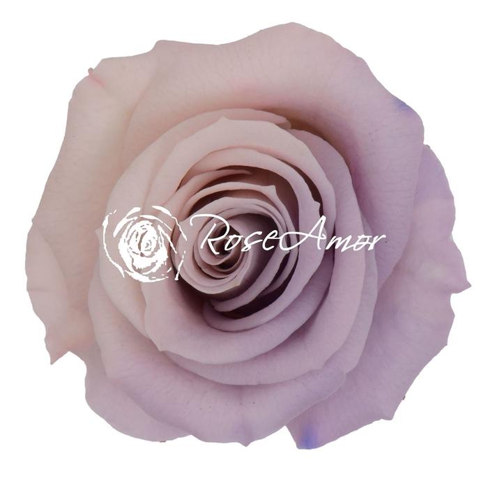 <h4>PRESERVED ROSA MINI WARMI BIC 27</h4>