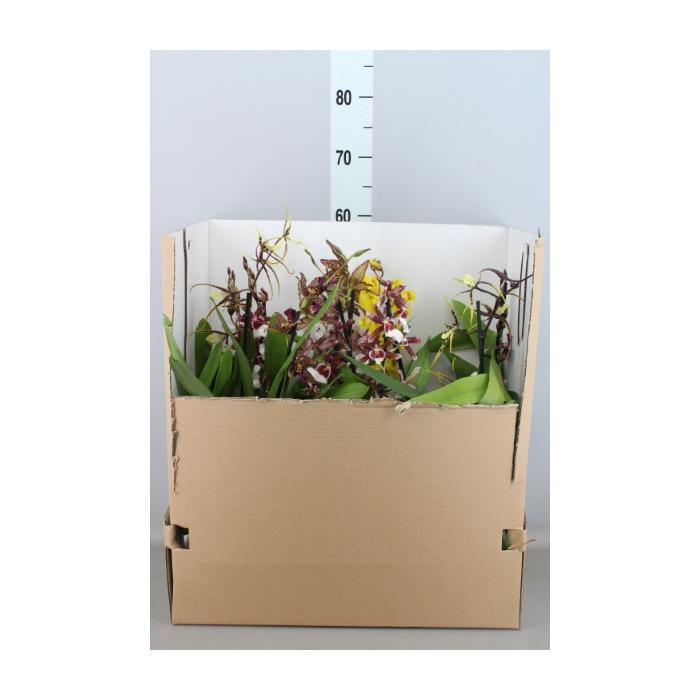 <h4>Orchideeen   ...mix</h4>